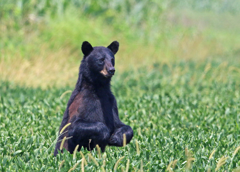 Bear, Black 2015-08-05 Alligator River NWR 462-1