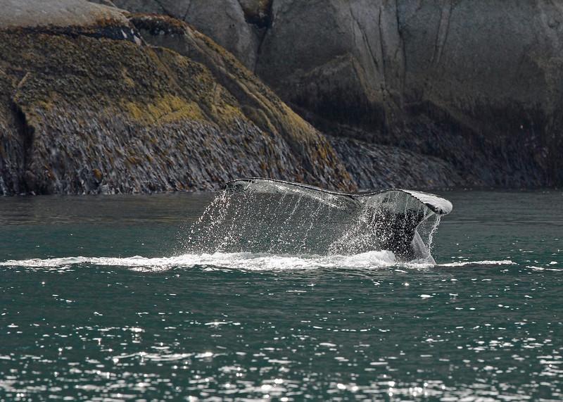 Whale, Humpback 2013-06-26 Alaska 158-1