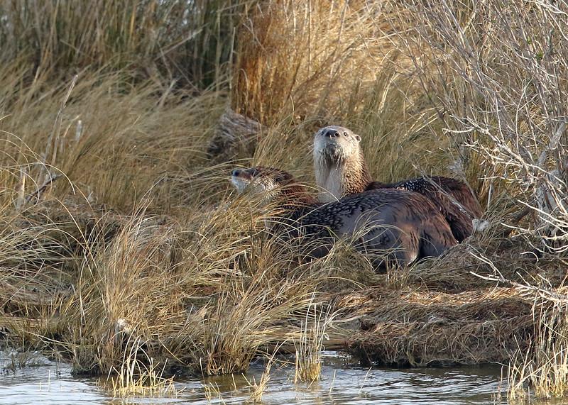 Otter, River 2019-01-17 CBC OBX 445-1