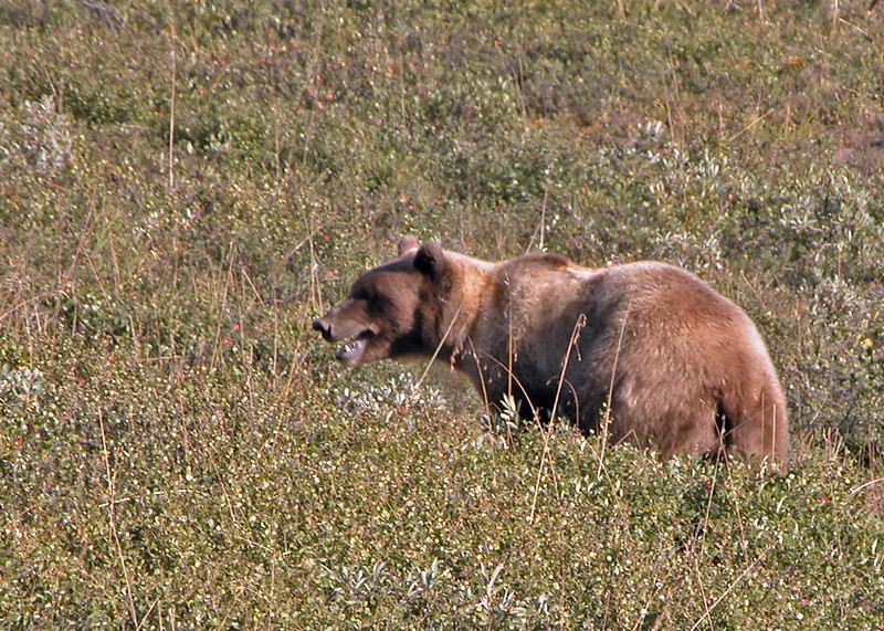 Bear, Grizzly 2005-08-12 Alaska Picture 114-1