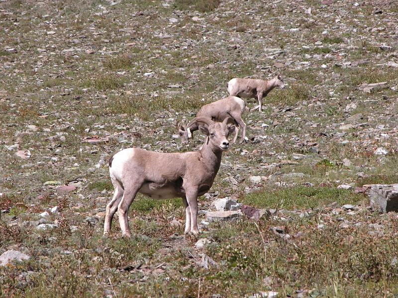 Sheep, Big Horn Glacier 2004-09-24 DSCN7424
