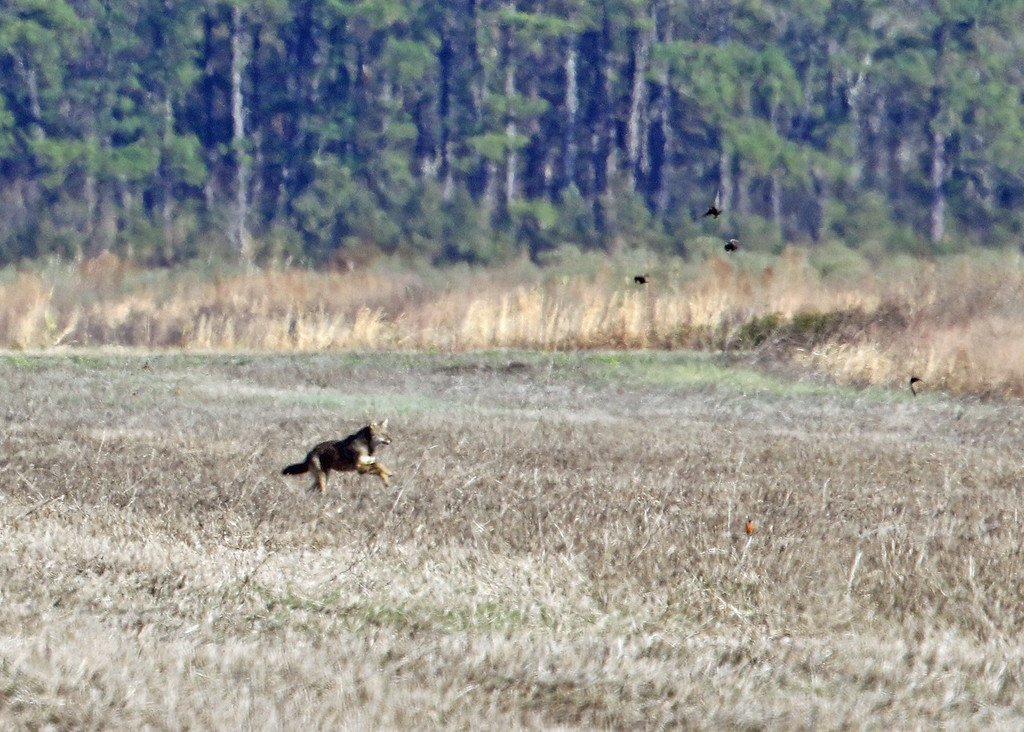Wolf, Red 2017-01-25 Winter CBC Outer Banks 446-1