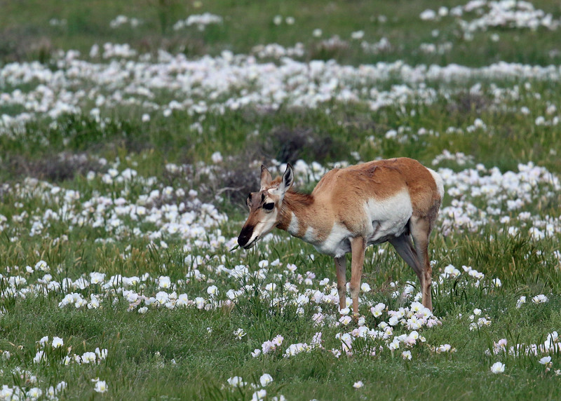 Antelope, Pronghorn 2014-06-11 Colorado 676-1