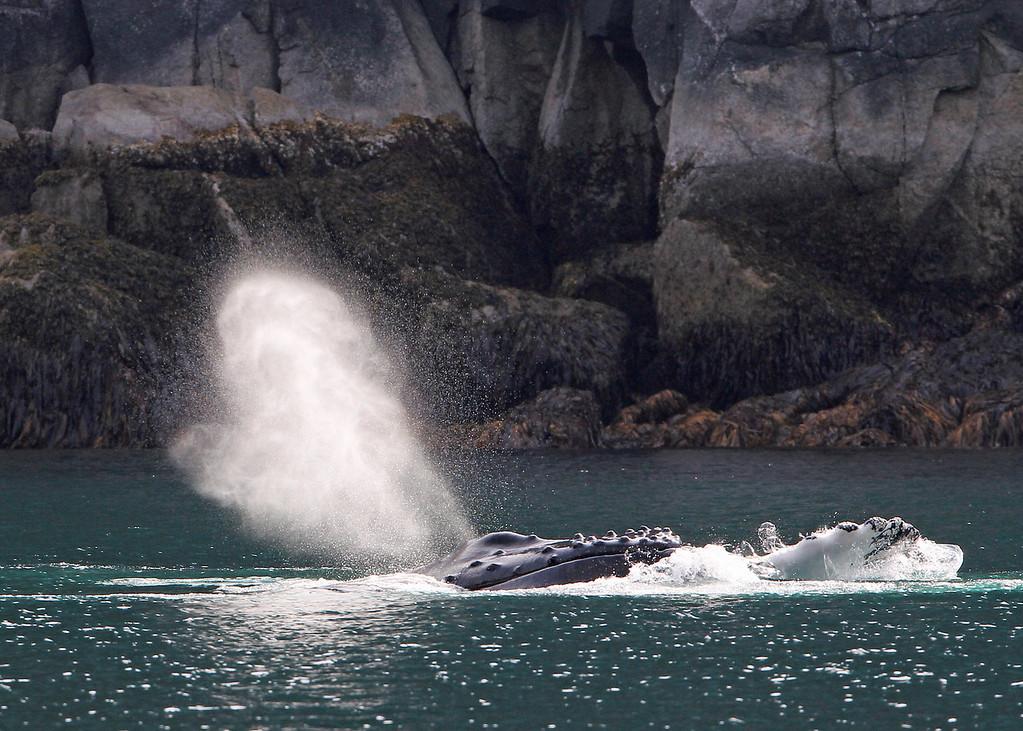 Whale, Humpback 2013-06-26 Alaska 144-1