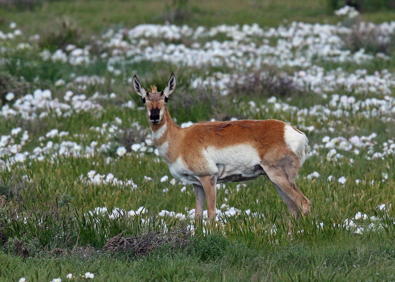 Antelope, Pronghorn 2014-06-11 Colorado 664-1