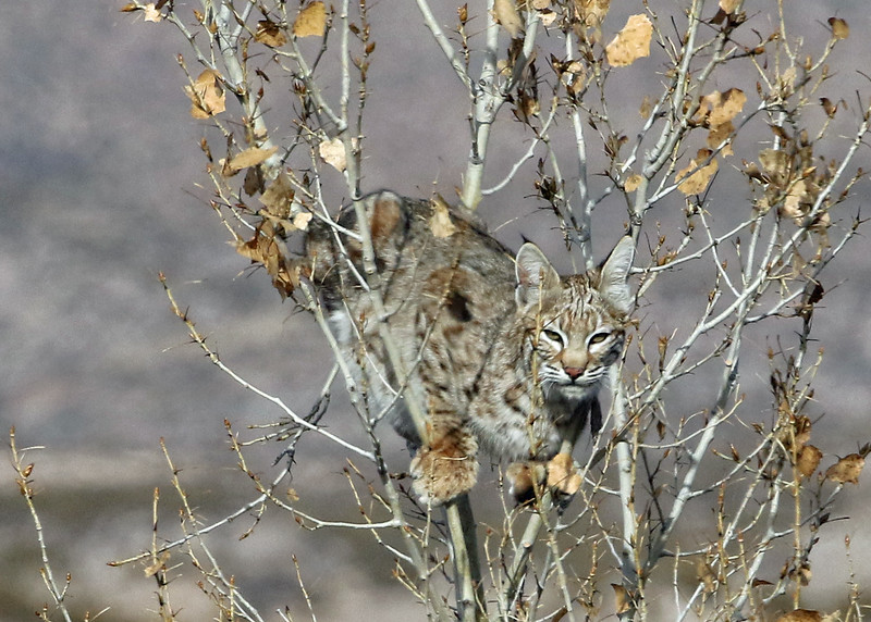 Bobcat 2018-01-14 New Mexico 366-1