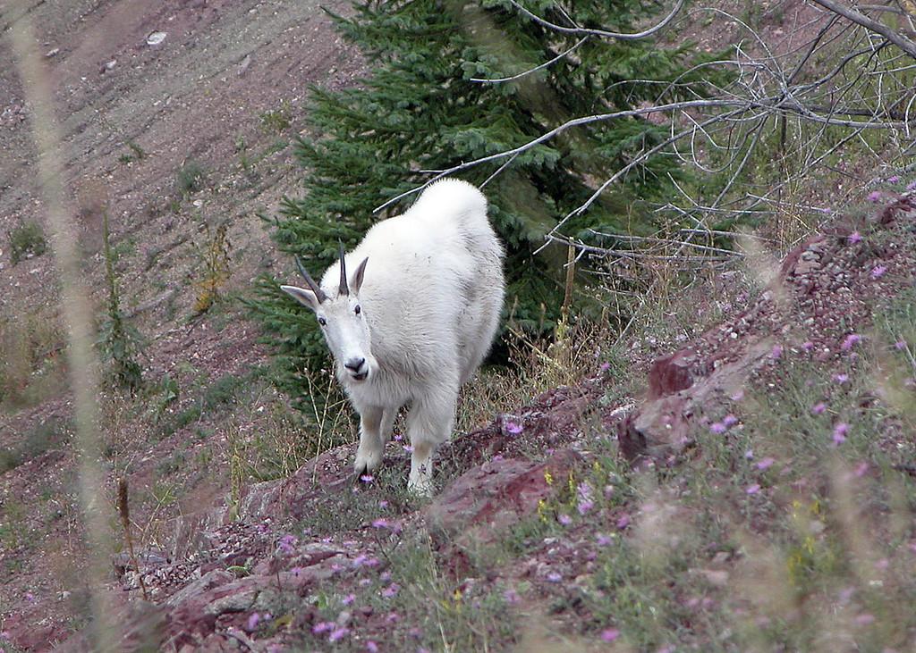 Goat, Mountain 2004-09-24 Glacier DSCN7366-1