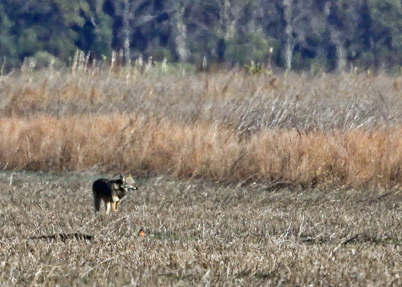 Wolf, Red 2017-01-25 Winter CBC Outer Banks 455-1