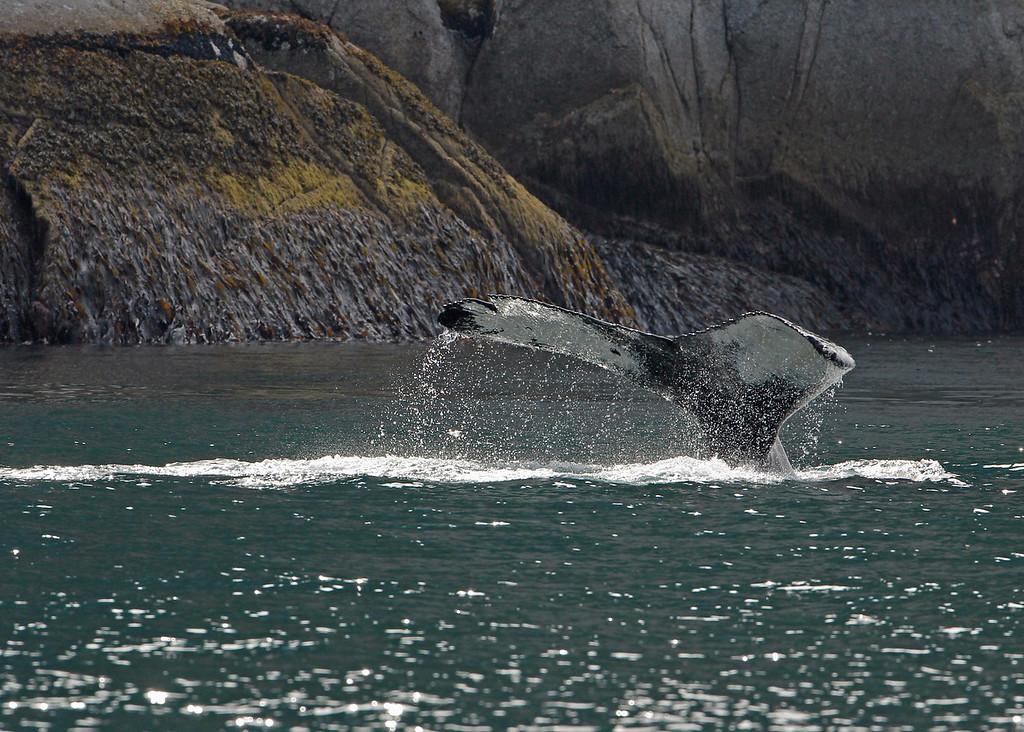 Whale, Humpback 2013-06-26 Alaska 159-1