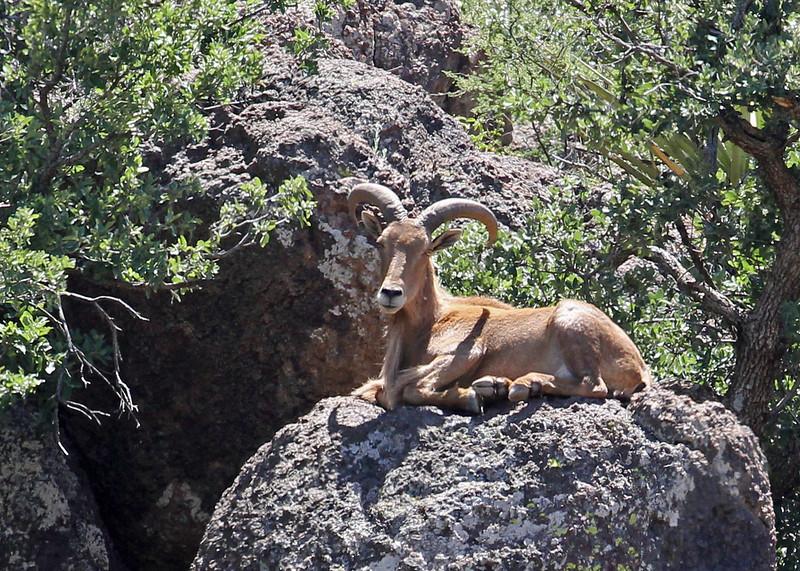 Sheep, Desert Big Horn 2015-05-23 Texas 431-1