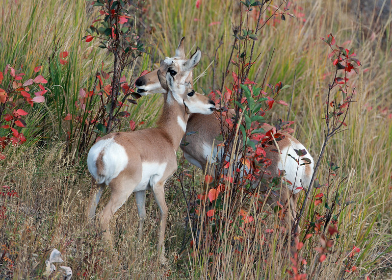 Antelope, Pronghorn 2012-09-25 Yellowstone 332-1