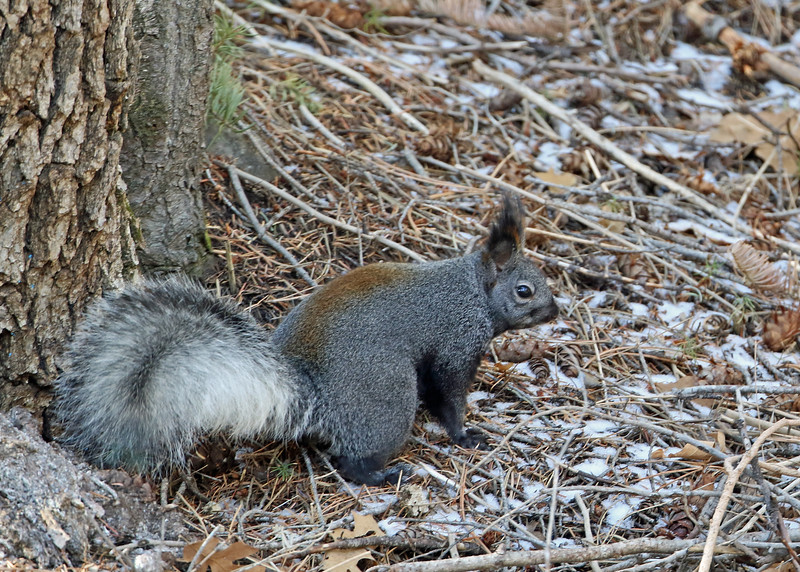 Squirrel, Albert's 2018-01-14 New Mexico 043-1