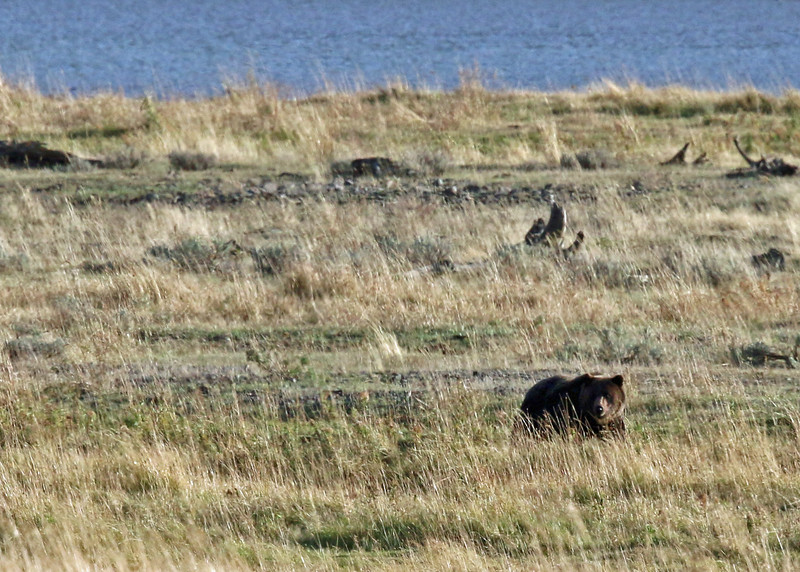 Bear, Grizzly 2015-09-17 Yellowstone 2015 575-1