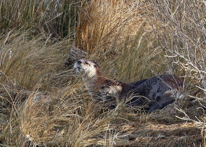 Otter, River 2019-01-17 CBC OBX 450-1