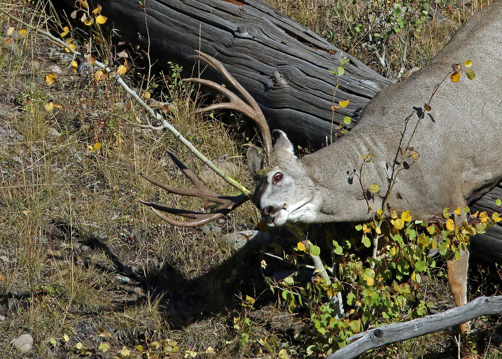 Deer, Mule 2015-09-17 Yellowstone 2015 643-1