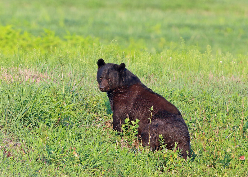 Bear, Black 2015-08-05 Alligator River NWR 193-1