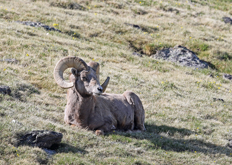Sheep, Rocky Mountain Big Horn 2018-06-15 RMNP 140-1