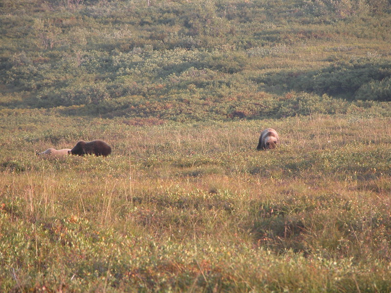 Bear, Grizzly 2005-08-12 Alaska Picture 210