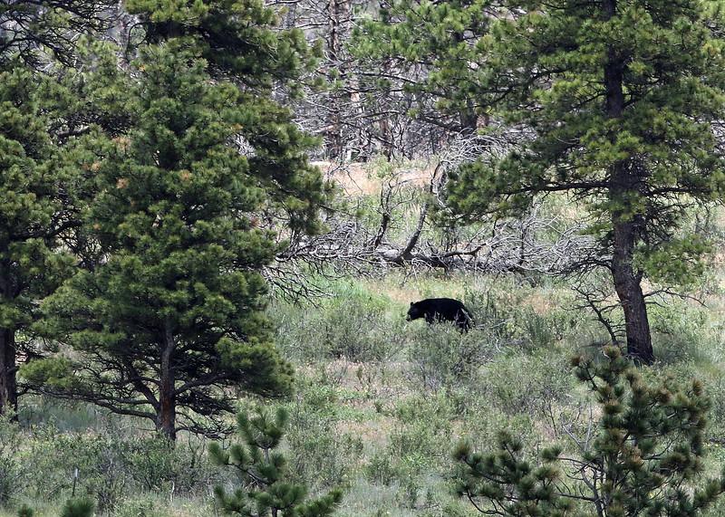 Bear, Black 2018-06-20 KOLA 484-1