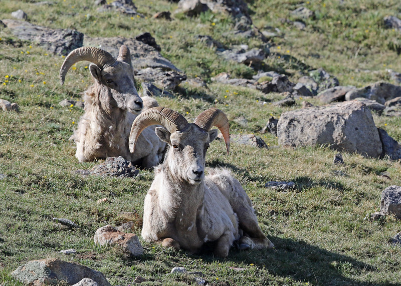 Sheep, Rocky Mountain Big Horn 2018-06-15 RMNP 155-1