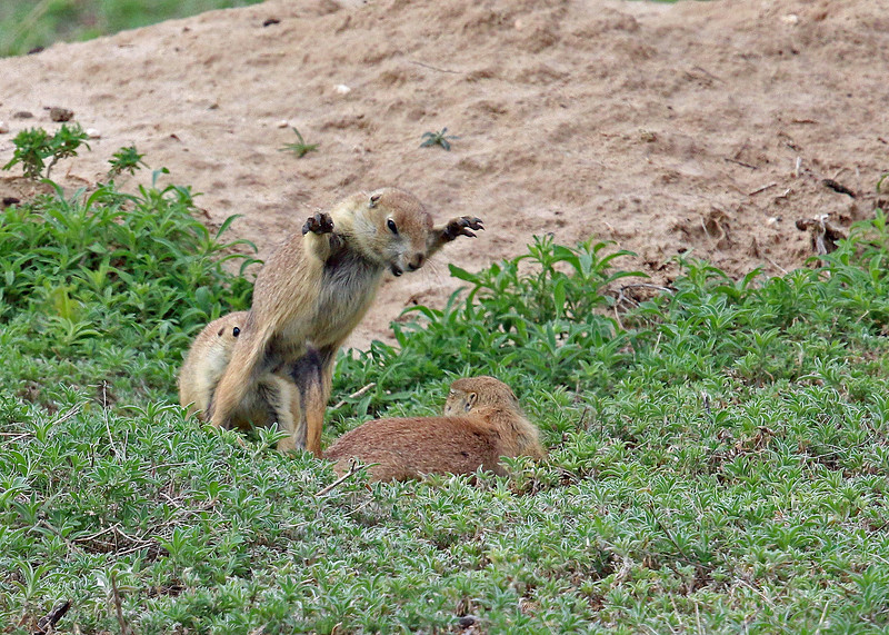 Prairie Dog 2014-06-11 Colorado 277-1