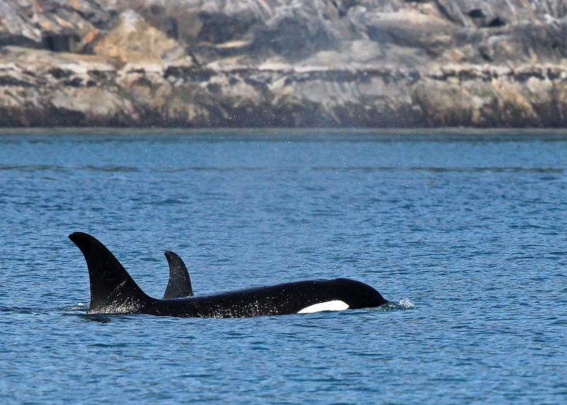 Whale, Killer 2013-06-26 Alaska 174-1