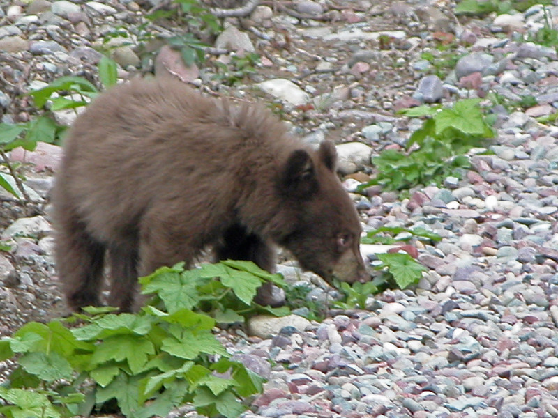 Bear, Black Glacier 2004-09-24 DSCN7456-1