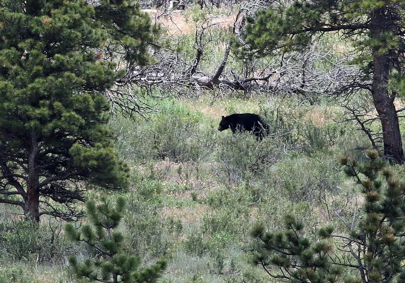 Bear, Black 2018-06-20 KOLA 483-1