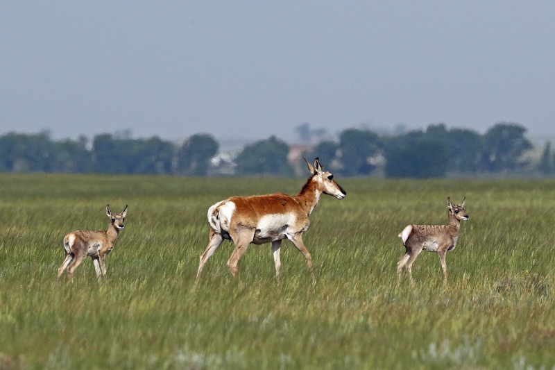 Antelope, Pronghorn 2018-06-14 Hutton Lake NWR 006-1