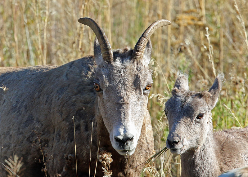 Sheep, Big Horn 2015-09-17 Yellowstone 2015 686-1