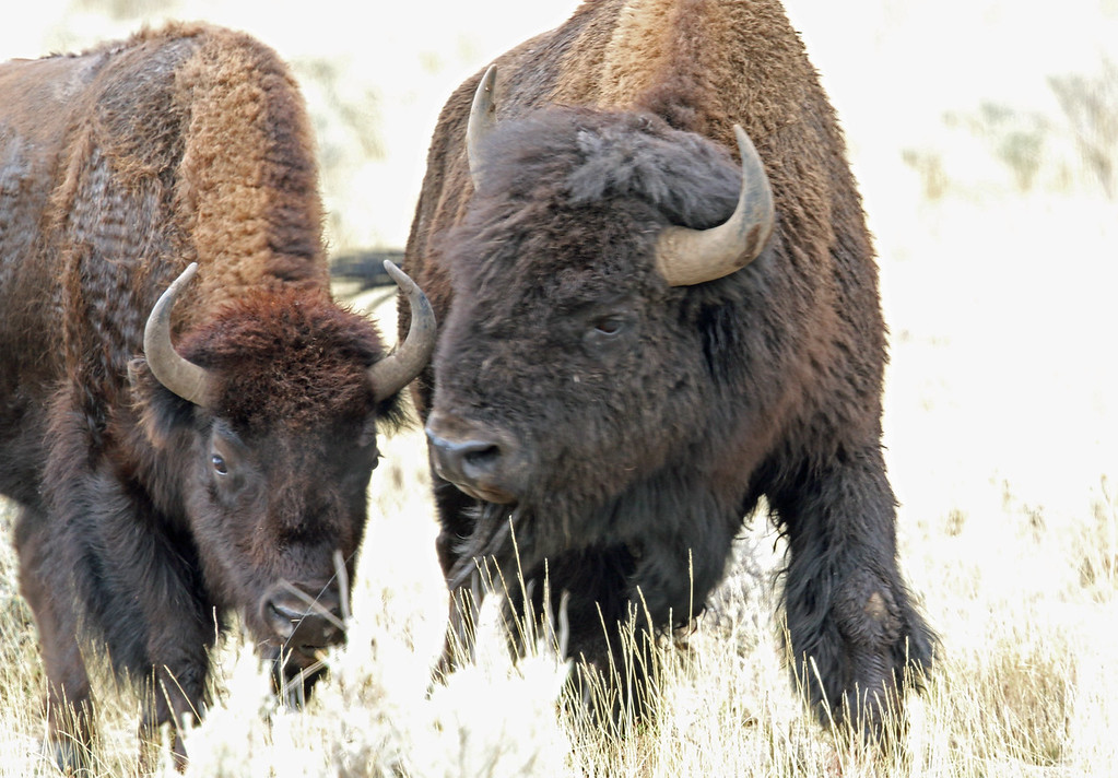 Bison, American  2015-09-17 Yellowstone 2015 069-1