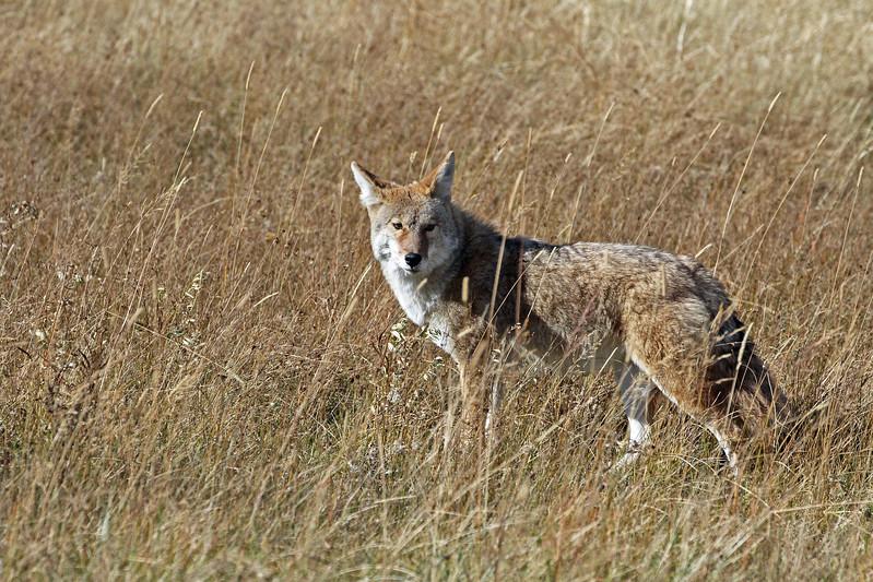 Coyote RMNP 2011-10-10 IMG_3539-1