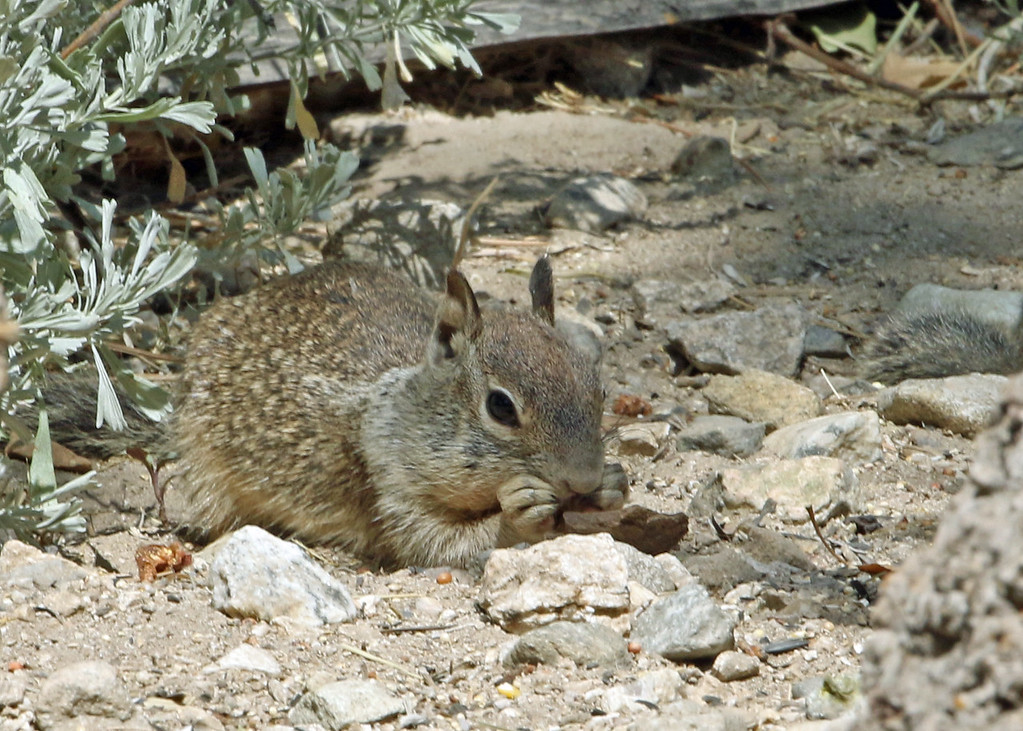 Squirrel, California Ground 2016-08-19 California 024-1