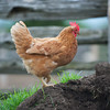 Chicken in the manure pile on the farm.