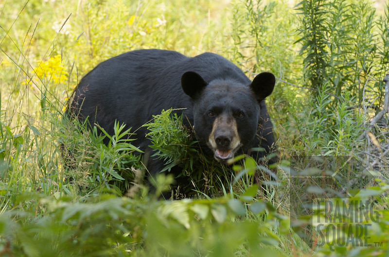 Gooseneck Lake-black bear