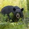 Gooseneck Lake-black bear