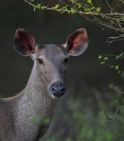 Indian Sambar (Rusa unicolor niger) at Gir National Park, Sasan, Gujarat, India.
