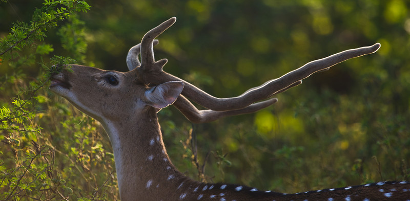 Chital or Axis Deer (Axis axis) at Gir National Park, Sasan, Gujarat, India.