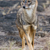Indian Jackal (Canis aureus indicus) at Gir National Park, Sasan, Gujarat, India.