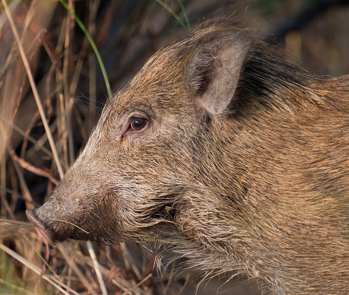 Indian Wild Boar (Sus scrofa cristatus) at Velavadar National Park, Velavadar, Gujarat, India.