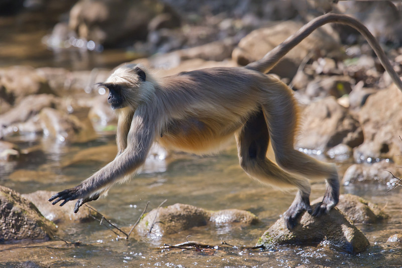Hanuman Langur (Semnopitheaus entellus) at Gir National Park, Sasan, Gujarat, India.