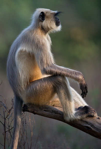 Hanuman Langur (Semnopitheaus entellus) at Sindhrot, Gujarat, India.