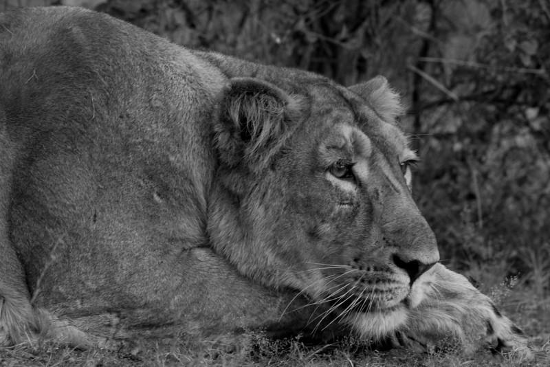 Asiatic Lion (Panthera leo persica) at Gir National Park, Sasan, Gujarat, India.