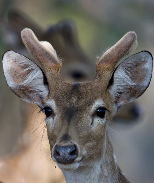 Chital or Axis Deer (Axis axis) at Gir National Park, Sasan, Gujarat, India.