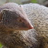Common Grey Mongoose (Herpestes edwardsi) at Gir National Park, Sasan, Gujarat, India.