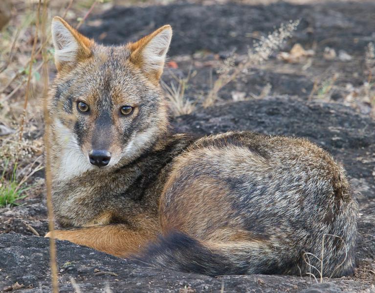 Indian Jackal (Canis aureus indicus) at Gir National Park, Sasan, Gujarat, India.