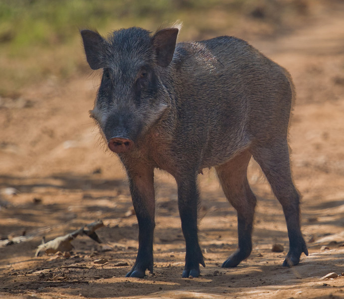 Indian Wild Boar (Sus scrofa cristatus) at Gir National Park, Sasan, Gujarat, India.
