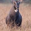 Nilgai (Boselaphus tragocamelus) at Velavadar National Park, Velavadar, Gujarat, India.