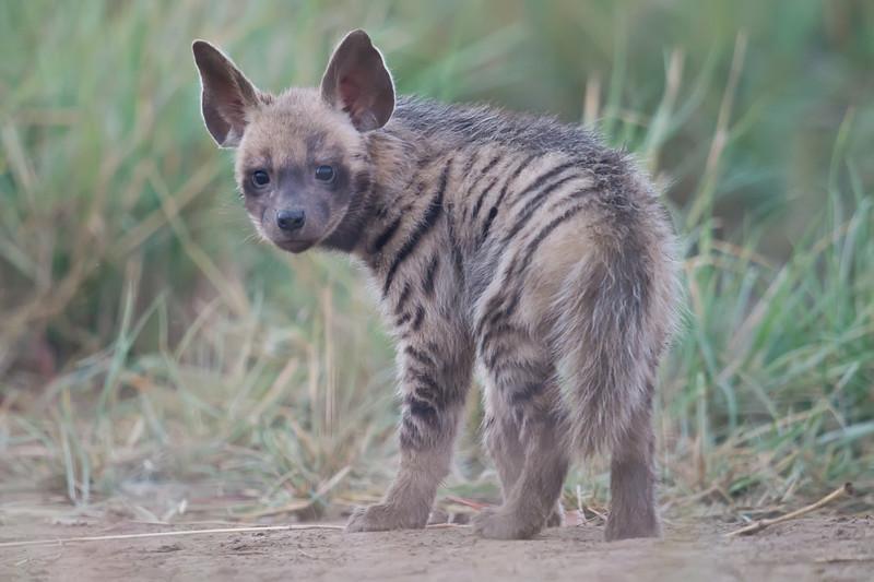 Striped Hyena (Hyaena hyaena) at Velavadar National Park, Velavadar, Gujarat, India.