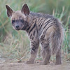 Striped Hyena (Hyaena hyaena) at Velavadar National Park, Velavadar, Gujarat, India.